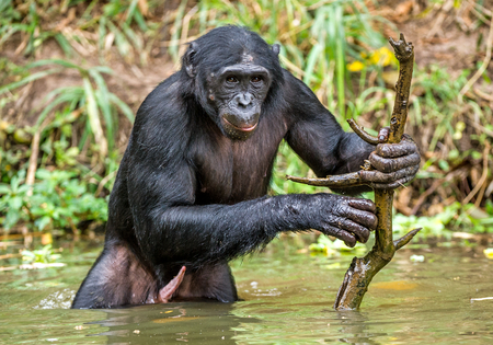 Bonobo in the water with stick. The Bonobo ( Pan paniscus), called the pygmy chimpanzee. Democratic Republic of Congo. Africa Stock Photo
