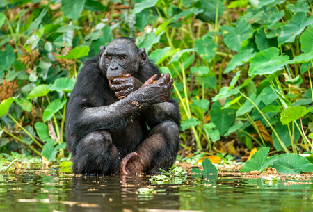 Bonobo in the water. Natural habitat. Green natural background. The Bonobo ( Pan paniscus), called the pygmy chimpanzee. Democratic Republic of Congo. Africa