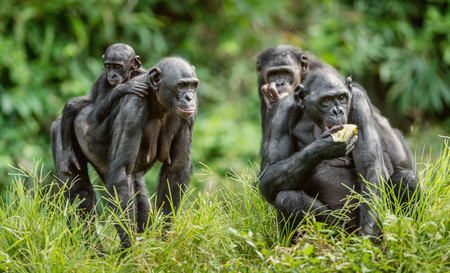 Bonobo Cub on the mothers back in natural habitat. Green natural background. The Bonobo ( Pan paniscus), called the pygmy chimpanzee. Democratic Republic of Congo. Africa Stock Photo