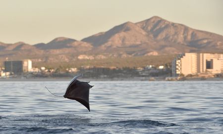Mobula ray jumping out of the water. Mobula munkiana, known as the manta de monk, Munk's devil ray, pygmy devil ray, smoothtail mobula, is a species of ray in the family Myliobatida. Pacific ocean Banque d'images - 94390255