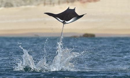 Mobula ray jumping out of the water. Mobula munkiana, known as the manta de monk, Munk's devil ray, pygmy devil ray, smoothtail mobula, is a species of ray in the family Myliobatida. Pacific ocean Banque d'images - 94346887