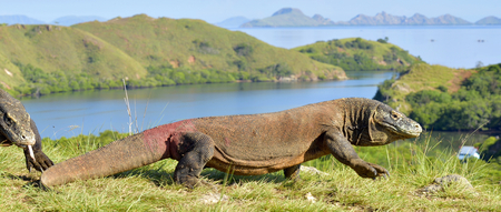 Komodo dragon ( Varanus komodoensis ) in natural habitat. Biggest living lizard in the world.  island Rinca. Indonesia.