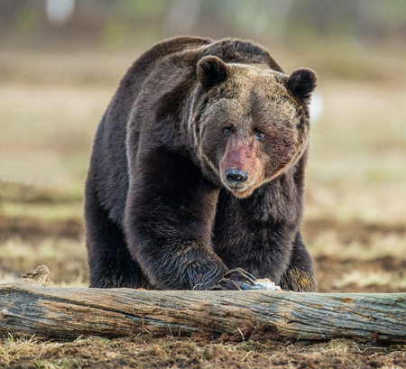 Close up  Bear portrait with the blood-stained muzzle. Brown Bear (Ursus arctos) male on the bog in spring forest.