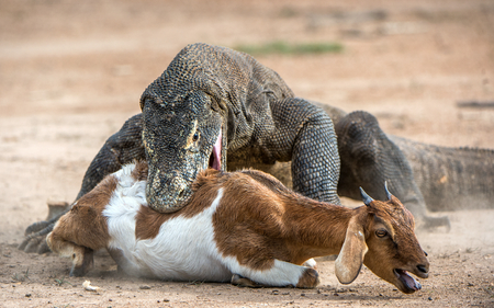The dragon attacks. The Komodo dragon attacks the prey. The Komodo dragon, Varanus komodoensis, is the biggest living lizard in the world.On island Rinca. Indonesia. Stock Photo