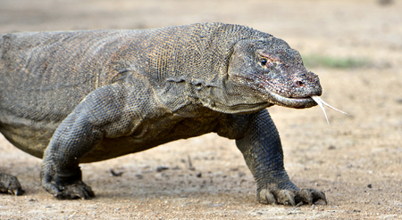 Komodo dragon ( Varanus komodoensis ) with the  forked tongue sniff air. Biggest in the world living lizard in natural habitat. Island Rinca. Indonesia.