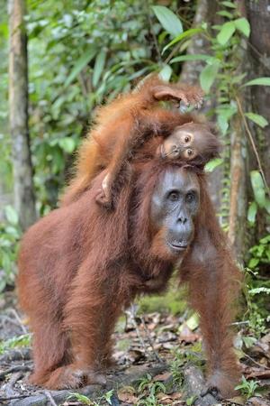 Mother orangutan and cub in a natural habitat. Bornean orangutan (Pongo pygmaeus wurmmbii) in the wild nature. Rainforest of Island Borneo. Indonesia. Stock Photo
