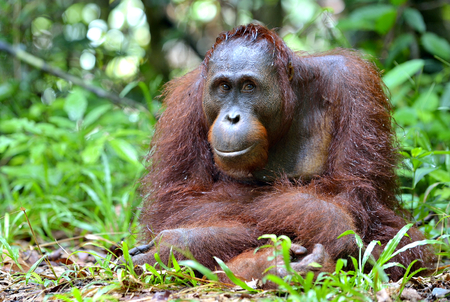 Bornean orangutanin the wild nature. Central Bornean orangutan Pongo pygmaeus wurmbii in natural habitat. Tropical Rainforest of Borneo Island. Indonesia Foto de archivo