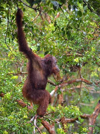 Central Bornean orangutan (Pongo pygmaeus wurmbii) in natural habitat on the tree. Wild nature in Tropical Rainforest of Borneo. Indonesia Stock Photo