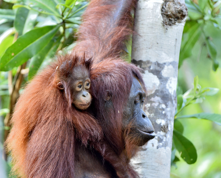 Orangutan baby and mother. Mother and cub in a natural habitat. Bornean orangutan (Pongo pygmaeus wurmbii) in the wild nature. Rainforest of Island Borneo. Indonesia.