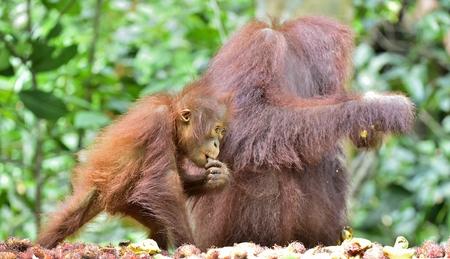 Orangutan baby and mother. Mother and cub in a natural habitat. Bornean orangutan (Pongo pygmaeus wurmbii) in the wild nature. Rainforest of Island Borneo. Indonesia.
