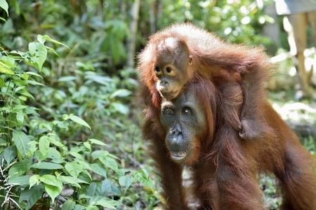 Baby orangutan on mothers back in a natural habitat. Bornean orangutan (Pongo  pygmaeus wurmmbii) in the wild nature. Tropical Rainforest of Island Borneo. Indonesia.