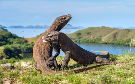 The Fighting Komodo dragons (Varanus komodoensis) for domination. It is the biggest living lizard in the world. Island Rinca. Indonesia. Фото со стока