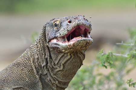 The Komodo dragon (Varanus komodoensis) with open mouth. Biggest living lizard in the world. Island Rinca. Indonesia. Stock Photo