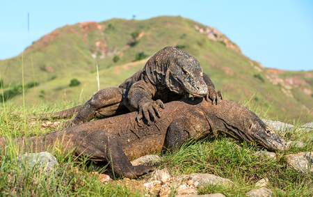 The Fighting Komodo dragons (Varanus komodoensis) for domination. It is the biggest living lizard in the world. Island Rinca. Indonesia. Stock Photo