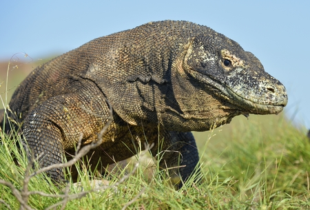 Portrait of the Komodo dragon ( Varanus komodoensis ) is the biggest living lizard in the world.  On island Rinca. Indonesia. Stock Photo