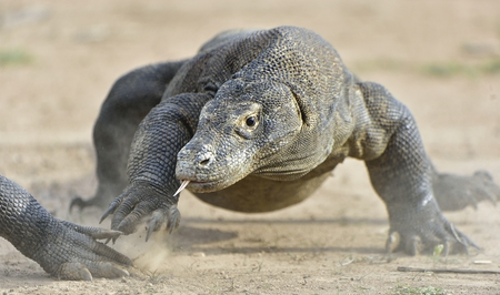 Portrait of the Komodo dragon ( Varanus komodoensis ) is the biggest living lizard in the world.  On island Rinca. Indonesia. Reklamní fotografie