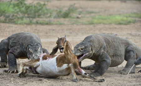 The dragons attacks. The Komodo dragons attacks the prey. The Komodo dragon, Varanus komodoensis, is the biggest living lizard in the world.On island Rinca.