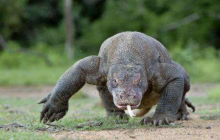 Komodo dragon (Varanus komodoensis) with the forked tongue sniff air. Biggest in the world living lizard in natural habitat. Island Rinca. Stock Photo