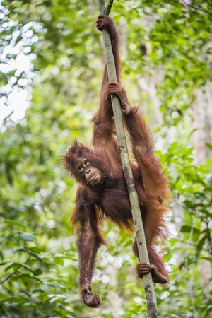 orangutan on the tree branches. Bornean orangutan (Pongo pygmaeus wurmmbii) in the wild nature. Rainforest of Island Borneo. Indonesia.