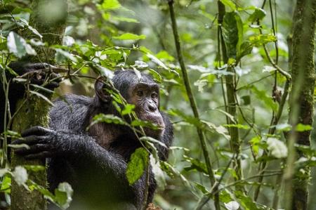 Close up portrait of chimpanzee ( Pan troglodytes ) resting in the jungle. Natural habitat. Kibale forest in Uganda  Stock Photo