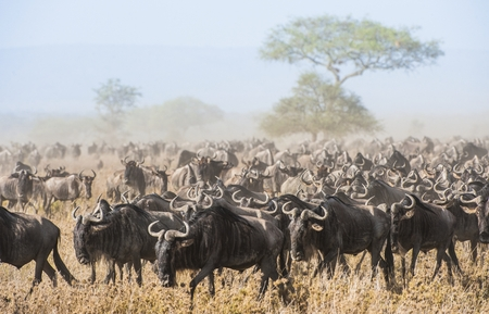 Wildebeest migration. The herd of migrating antelopes goes on dusty savanna. The wildebeests, also called gnus or wildebai, are a genus of antelopes, Connochaetes. Kenya . Africa