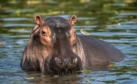 Common hippopotamus in the water. The common hippopotamus (Hippopotamus amphibius), or hippo. Africa