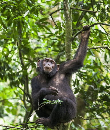 Close up portrait of chimpanzee ( Pan troglodytes ) resting on the tree in the jungle. Kibale forest in Uganda  Stock Photo