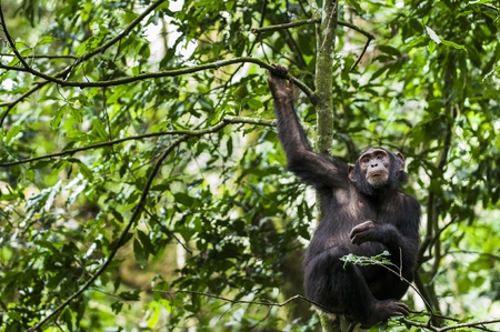 Close up portrait of chimpanzee ( Pan troglodytes ) resting on the tree in the jungle. Kibale forest in Uganda  Banque d'images