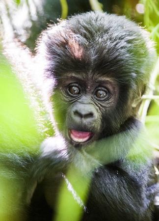 Close up Portrait of a mountain gorillacub at a short distance. The mountain gorilla (Gorilla beringei beringei) .