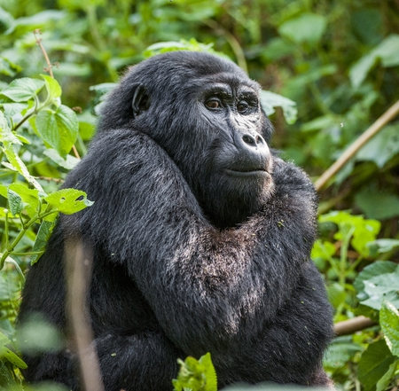 Close up Portrait of a mountain gorilla at a short distance in natural habitat. The mountain gorilla (Gorilla beringei beringei) . Bwindi Impenetrable Forest National Park. Uganda. Africa