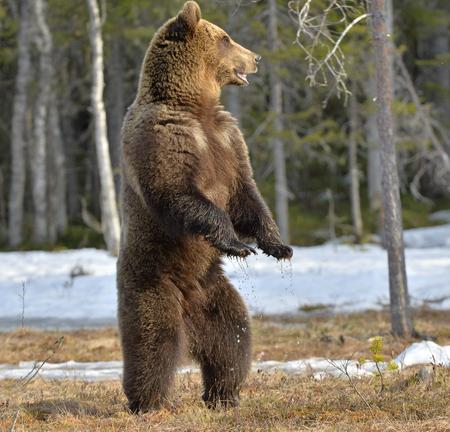 Ours brun (Ursus arctos) debout sur ses pattes arrières dans une tourbière dans la forêt de printemps. Banque d'images - 94506933