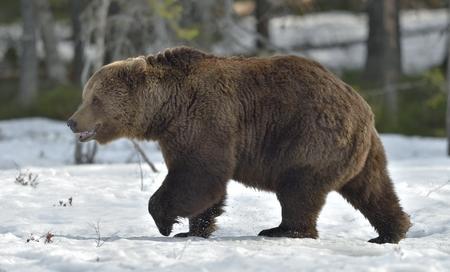 Ours brun (Ursus arctos) mâle dans la tourbière dans la forêt de printemps. Banque d'images - 94522308