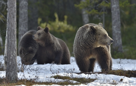 Adult female of Brown Bear (Ursus arctos) with cubs on the snow in spring forest. Stock Photo