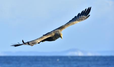 White-tailed eagle in flight, fishing. Adult white-tailed eagle (Haliaeetus albicilla), also known as the ern, erne, gray eagle, Eurasian sea eagle and white-tailed sea-eagle Stock Photo