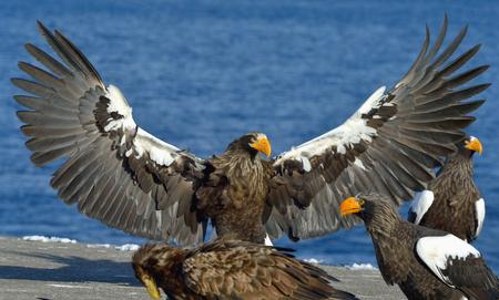 Stellers sea eagle spread his wings. Adult Stellers sea eagle (Haliaeetus pelagicus).