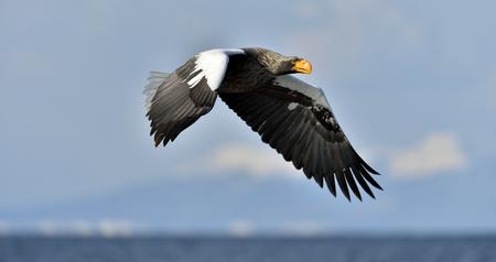 Adult Stellers sea eagle in flight. Stellers sea eagle, Scientific name: Haliaeetus pelagicus. Stock Photo