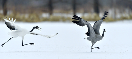 The gray crane runs away from the Japanese crane. Snow white background. Winter season Stock Photo