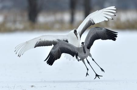 The gray crane runs away from the Japanese crane. Snow white background. Winter season Stock Photo