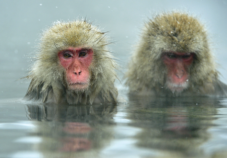 Snow monkeys in natural hot spring. Cleaning procedure. The Japanese macaque (Scientific name: Macaca fuscata), also known as the snow monkey.