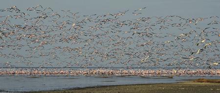 Flamingos in flight. Flamingos fly over the lake Natron. Mountains on the background. Lesser flamingo. Scientific name: Phoenicoparrus minor. Tanzania.