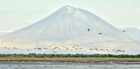Flock of flamingos in flight. Flamingos fly over the lake Natron. Volcano Langai on the background. Lesser flamingo. Scientific name: Phoenicoparrus minor. Tanzania.