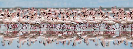 Colony of Flamingos on the Natron lake.Lesser Flamingo Scientific name: Phoenicoparrus minor. Tanzania Africa. Stok Fotoğraf