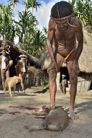 BALIEM VALLEY, WEST PAPUA, INDONESIA, MAY 15 2016: Dugum Dani Tribe Pig Festival, Welcome ceremony. Slain pig for cooking in the ground with hot stones. New Guinea Island, Indonesia on May 15, 2016 Editorial