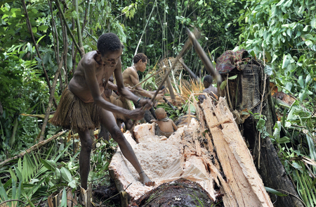 WILD JUNGLE, IRIAN JAYA, NEW GUINEA, INDONESIA - JUNE 9, 2016: Papuans of tribe Korowai  in the jungle. People of the Nomadic Forest Tribe Korowai processing the sago palm tree (Metroxylon sagu).