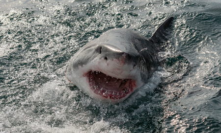 Great white shark, Carcharodon carcharias, with open mouth. Great White Shark (Carcharodon carcharias) in ocean water an attack. Hunting of a Great White Shark (Carcharodon carcharias). South Africa. Stock fotó