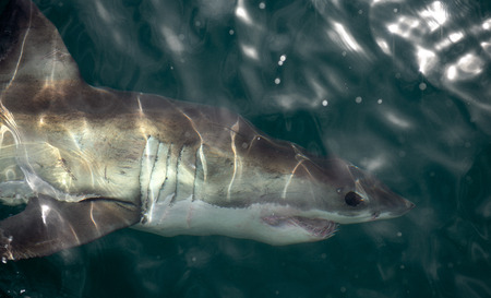 Great White Shark Underwater . Great White shark (Carcharodon carcharias) in the water of Pacific ocean near the coast of South Africa Stock Photo