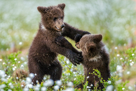 Brown bear cubs playing in the forest. Bear Cubs stands on its hind legs. Brown bear ( Scientific name: Ursus arctos) cubs playing on the swamp in the forest. White flowers on the bog in the summer forest.