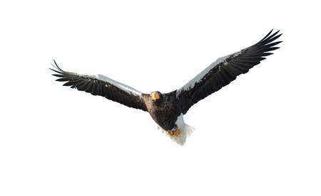 Steller's sea eagle in flight. Adult Steller's sea eagle . Scientific name: Haliaeetus pelagicus. Isolated on white background. Standard-Bild