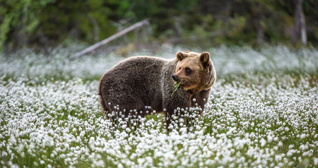 Brown bear on the forest background among white flowers. Summer season. Natural habitat.
