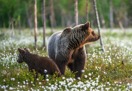 Brown bear cubs  with she bear in the summer forest on the bog among white flowers. Scientific name: Ursus arctos. Banque d'images